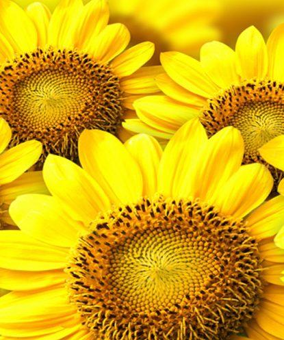 closeup view of bright yellow sunflowers